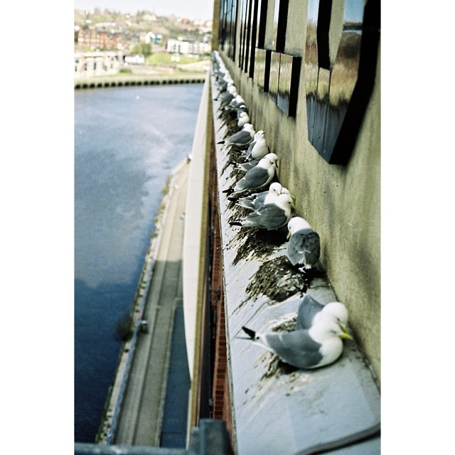 Pidgeons nesting on the side of a building